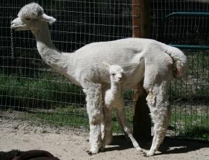 The amazing alpaca dam: instinctually standing still for a newborn who searches for milk